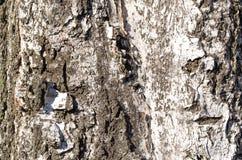 bark ?rvore Casca de madeira E nave r Textura de madeira fotografia de stock