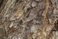 Bark's texture. A texture of bark in a forest Royalty Free Stock Image