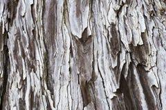 Bark of sequoia. Detail of bark of Coast Redwood Sequoia Sequoia sempervirens stock image