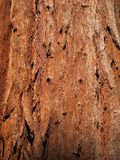 Bark of sequoia tree trunk Stock Photos