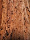 Bark of sequoia tree trunk. Red bark of giant sequoia tree in Mariposa Grove, Yosemite Park, California stock photos