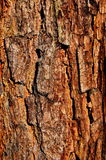 The bark of the Siberian pine. stock images