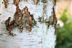 The bark of a silver birch tree. Close up detail of the bark of a silver birch tree stock images