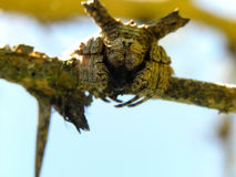 Bark Spider 1 Royalty Free Stock Photography