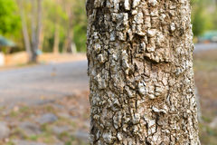 Bark stem tree. In Thailand Stock Images