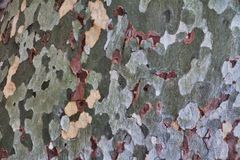 Sycamore Tree Bark Background. Bark of the sycamore tree at Montezuma Castle National Monument near Sedona Arizona stock photo