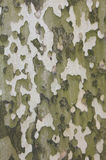 Bark of sycamore tree, natural camouflage pattern. Background Stock Photo