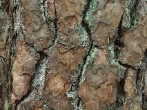Bark of Tabor pine Royalty Free Stock Photos