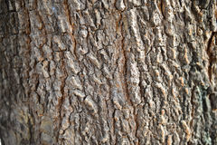 Bark tamarind tree. In Thailand Stock Image