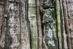 Bark of teak tree. Largest in the world at Thailand Royalty Free Stock Photo