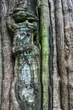 Bark of teak tree Royalty Free Stock Photos