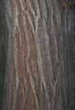 Bark texture. The vertical tree trunk with a pronounced texture of the cortex royalty free stock image