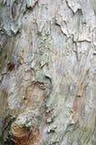 Bark texture. Detailed of white tree bark texture Stock Photography