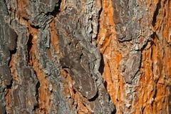 Bark texture. Pine tree bark texture background Stock Photography