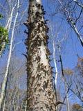 Bark Texture. Peeling bark texture on tree royalty free stock photos