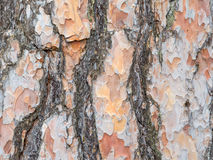 Bark texture background Scots pine Stock Photo