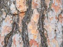 Bark texture background Scots pine. Horizontal image Stock Photo