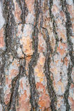 Bark texture background Scots pine. Vertical image Royalty Free Stock Photography