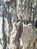 Bark texture of big tree. Split bark texture or background Royalty Free Stock Image