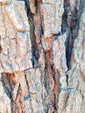 Bark texture of big tree. Split bark texture or background Royalty Free Stock Photos