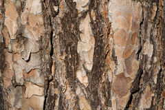 Bark Texture. A conifer's multi-layered peeling bark texture royalty free stock image