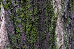 Bark texture covered by moss. Stock Photography