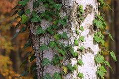 Bark texture with ivy leaves Stock Photo