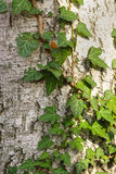 Bark texture with ivy leaves Royalty Free Stock Image