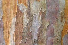 Bark texture of Japanese Stewa Royalty Free Stock Image