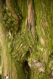 bark texture with knot Royalty Free Stock Image