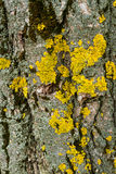 Bark Texture Lichen Royalty Free Stock Photography