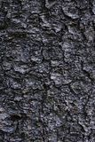 Bark texture of long living coniferous tree on Earth, Rocky Mountain Bristlecone Pine Pinus Aristata Stock Photo