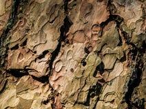 Bark texture of pine tree Royalty Free Stock Photo