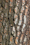 Bark texture of pine tree - light brown natural background Royalty Free Stock Photo
