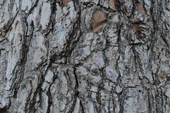 Bark texture Royalty Free Stock Photo