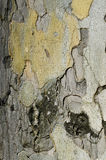 Bark texture of sycamore platan tree. Background with trunk in sunlight Stock Photography