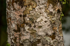 Bark texture of tree. Royalty Free Stock Image