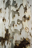 Bark Texture. Tree bark wood texture closeup with cracks and red skin wood color tone royalty free stock photos