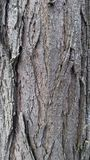 Bark of tree Royalty Free Stock Image