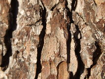 Bark of tree Royalty Free Stock Image