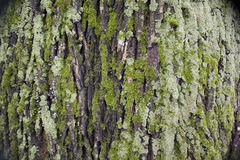 Bark of a tree Royalty Free Stock Images