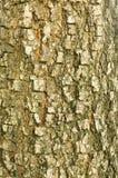 Bark of  tree. Natural Pattern Royalty Free Stock Image