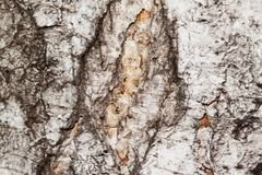 Bark of the tree. Background. Royalty Free Stock Photos