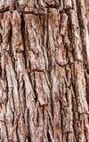 Bark of tree. Background of bark tree at Ayutthaya Stock Photo