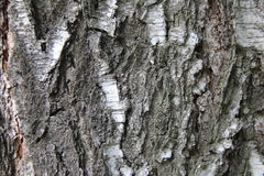 Bark. Tree bich spring Stock Images