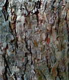 The bark of tree birch as a natural background royalty free stock photo