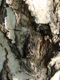The bark of the tree. Birch. Royalty Free Stock Images