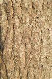 Bark of a tree Canadian maple. royalty free stock image