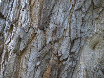 Bark of tree. Coarse bark of an old tree with vertical furrows Stock Image