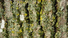 Bark of tree. Bark of a coniferous tree for a background and textures Stock Photography